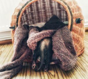 Śpiąca fretka